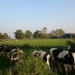 Kühe beim Austrieb